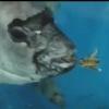 【捕食】何でも食べる魚 ムカデ、カマキリ他14種類