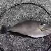 【玉網の実力】泳いでいる大きな魚も網で掬える!?