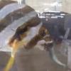 【捕食】メジナ、タカノハダイが小サバを捕食!